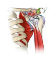 Bursectomy and Rotator Cuff Repair in the Shoulder
