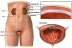 Anatomy of the Bladder
