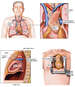 Anatomy of the Thymus Gland and Surrounding Structures