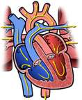 Normal Blood Flow through Heart