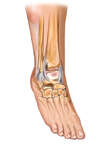 Anterolateral View of Right Ankle with Ligaments