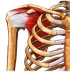 Anatomy of the Rotator Cuff