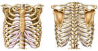 Anatomy of the Thoracic Skeleton (Ribcage)