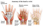 Anatomy of the Hand and Wrist